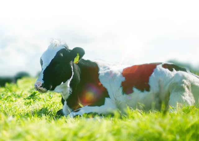 Vinamilk xây chiến lược dài hạn cho Mộc Châu Milk