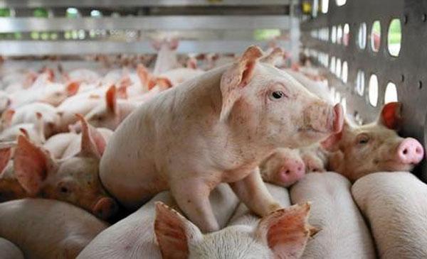 SCIC muốn bán trọn lô 51% vốn một công ty nuôi heo, khởi điểm gấp 2,7 lần thị giá