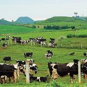 GTNFoods sẽ mua 29,5 triệu cổ phiếu Mộc Châu Milk, chiếm 75% lượng chào bán cho nhà đầu tư chiến lược