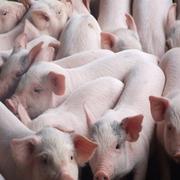 Chăn nuôi Mitraco: 6 tháng lãi 55 tỷ đồng giúp hết lỗ lũy kế, giá cổ phiếu tăng 5 lần