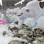 Tôm Việt Nam sang Trung Quốc dự báo tăng trong năm nay