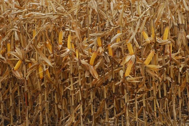 Covid-19 khiến nông dân Mỹ bỏ thu hoạch, chờ hỗ trợ từ chính phủ