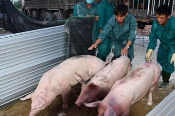 Giá lợn hơi giảm, nhập khẩu lợn từ Thái Lan tê liệt