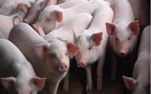 Công ty nuôi lợn ước lãi 9 tháng hơn gấp đôi vốn điều lệ
