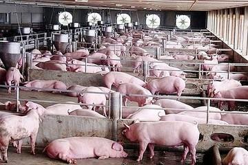 Giá lợn hơi hôm nay 25/8: Tiếp đà giảm nhẹ ở một số địa phương
