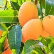 Australia bất ngờ tiêu thụ mạnh xoài, ổi Việt Nam