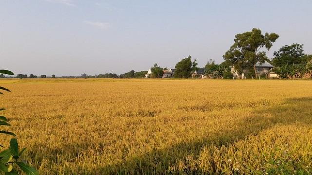 Gạo Việt Nam đang xuất khẩu được giá cao nhất trong vòng 9 năm qua Ảnh: NG.NG