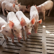 Nhà đầu tư bỏ cọc, SCIC lại rao bán hơn 97% vốn một công ty chăn nuôi heo