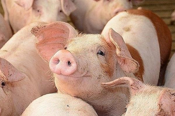 Giá lợn hơi hôm nay 18/9: Cao nhất ở mức 83.000 đồng/kg