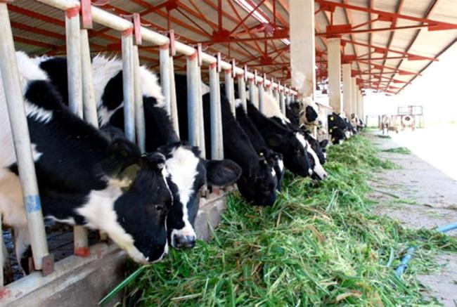 Đức Long Gia Lai lập công ty chăn nuôi bò sữa công nghệ cao