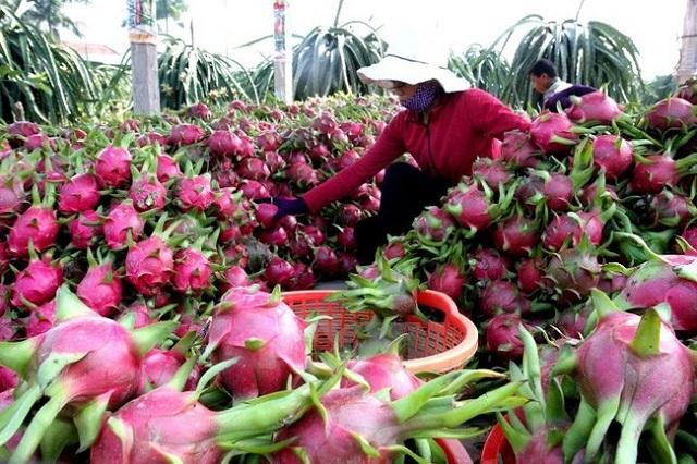 Hoa quả Việt xuất sang Trung Quốc: Nhiều tiềm năng còn bỏ ngỏ