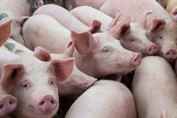 Giá lợn hơi hôm nay 30/9: Giảm 1.000 - 3.000 đồng/kg