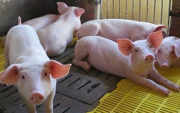 Dabaco mở rộng mảng chăn nuôi lợn và lợn giống tại Hòa Bình