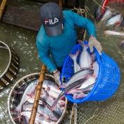 Giá cá tra lao đốc, người nuôi lỗ nặng
