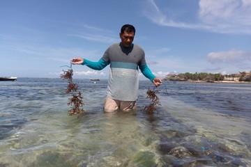 Người dân Bali đổ xô đi trồng rong biển