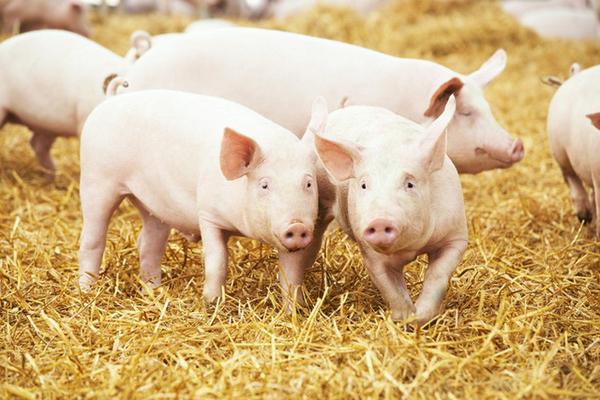Dabaco dự báo giá thịt lợn vẫn cao trong 2021