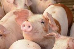 Giá lợn hơi 13/10: Tiếp tục giảm mạnh, miền Bắc đồng loạt về dưới mốc 70.000 đồng/kg