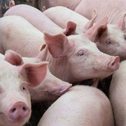 Giá lợn hơi hôm nay 15/10: Xuất hiện mức giá 60.000 đồng/kg
