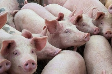 Giá lợn hơi hôm nay 19/10: Tăng giảm trái chiều