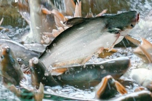 VASEP: Xuất khẩu cá tra có dấu hiệu tích cực trở lại ở một số thị trường