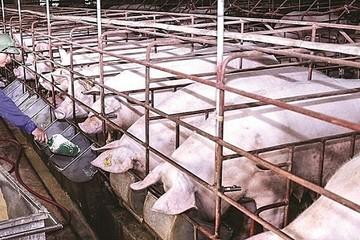 Giá lợn hơi hôm nay 21/10: Giảm nhẹ 1.000- 2.000 đồng/kg tại nhiều địa phương trên cả nước