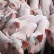 Chăn nuôi Mitraco lãi 85 tỷ 9 tháng, EPS đạt 21.372 đồng/cp