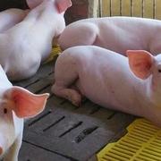 Lãi lớn, công ty nuôi lợn ở Đồng Nai muốn tăng tỷ lệ cổ tức lên trên 50%