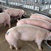 Giá lợn hơi hôm nay 23/10: Tiếp tục nhích nhẹ tại nhiều địa phương