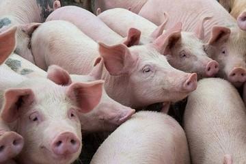 Giá lợn hơi hôm nay 27/10: Miền Bắc tăng mạnh