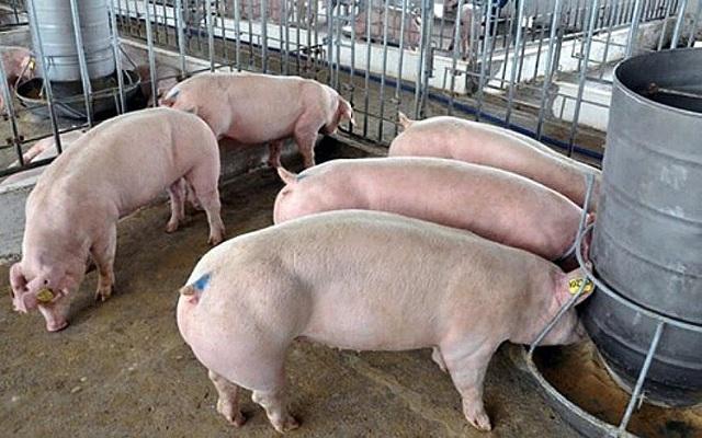 Giá lợn hơi hôm nay 28/10: Tăng giá ở nhiều địa phương trên cả nước