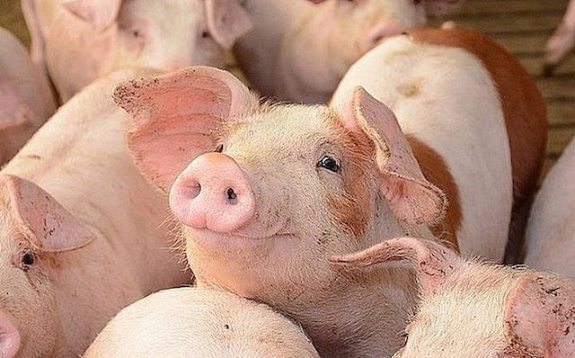 Giá lợn hơi hôm nay 1/11: Ổn định quanh mức 67.000-79.000 đồng/kg