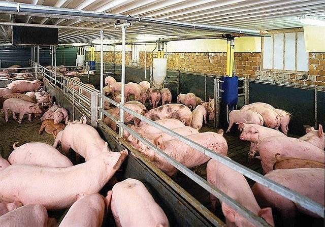 Giá lợn hơi 4/11: Đồng loạt giảm nhẹ tại nhiều địa phương trên cả nước