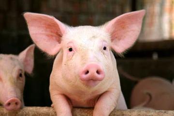 Chăn nuôi Mitraco trả cổ tức 2016 tỷ lệ 43%, kế hoạch lãi 20 tỷ quý IV