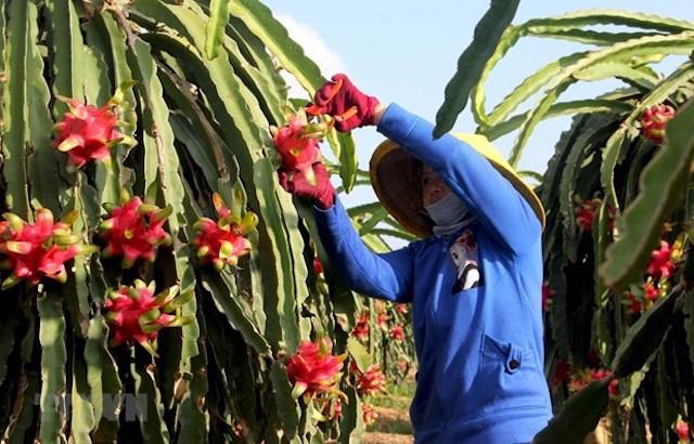 Thu hoạch thanh long trồng ứng dụng công nghệ cao phục vụ xuất khẩu.