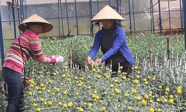 Nhà vườn Đà Lạt lo ế hoa chơi Tết