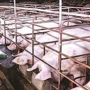 Giá lợn hơi hôm nay 17/11: Tiếp đà đi xuống tại miền Nam và miền Bắc