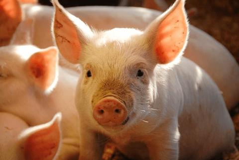 Lãi lớn, công ty nuôi lợn tạm ứng cổ tức tiền mặt 40%