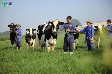 Cổ phiếu Mộc Châu Milk đã được lưu ký, room ngoại 49%