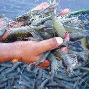 Con tôm, con cá tra Việt Nam ở Mỹ (kỳ I)