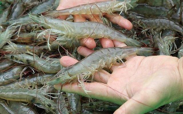 Con tôm, con cá tra Việt Nam ở Mỹ (kỳ II)