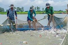 Con tôm, con cá tra Việt Nam ở Mỹ (kỳ cuối)