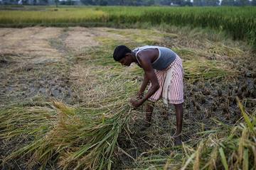 Trung Quốc lần đầu nhập gạo Ấn Độ sau 30 năm