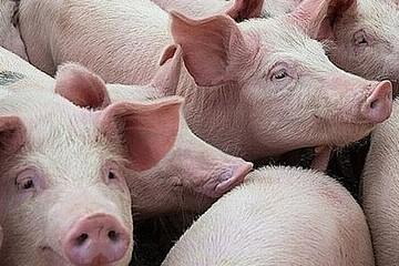 Giá lợn hơi hôm nay 11/12: Tăng ở miền Bắc, giảm nhẹ ở phía Nam