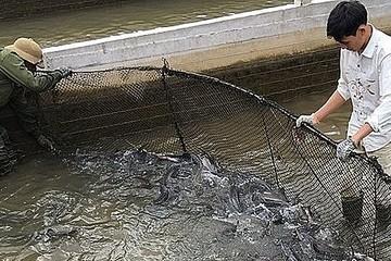 Cá tầm nội khổ vì cá tầm Trung Quốc