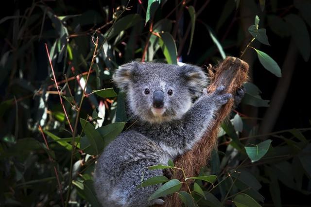 Kem trị mụn của bạn có thể nắm giữ chìa khóa chữa căn bệnh của gấu túi. Ảnh: Getty Images.