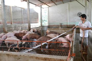 Hụt nguồn lợn nhập khẩu Thái Lan, lợn hơi liên tục tăng giá
