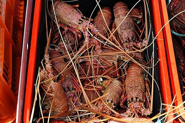 Ngành xuất khẩu tôm hùm đá mang lại lợi nhuận nửa tỷ USD mỗi năm cho Australia. Tại thời điểm bình thường, 94% sản lượng tôm hùm Australia được xuất sang Trung Quốc. Ảnh: AFP/ Trevor Collens.