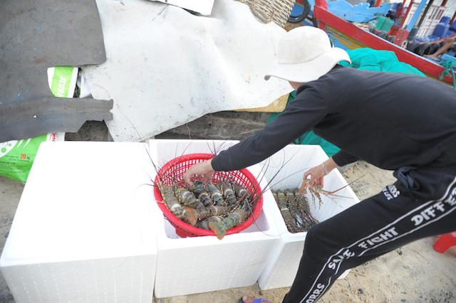 Thu mua tôm hùm xanh ở Khánh Hòa khi giá tăng cao như thời điểm trước dịch bệnh Covid-19. Ảnh: Kỳ Nam