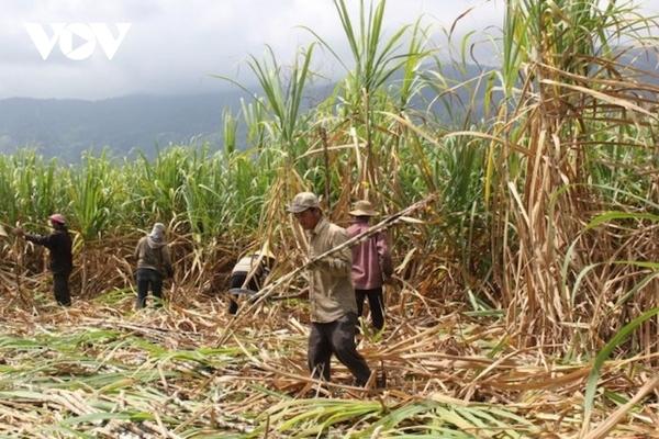Giá mía nguyên liệu tăng cao, nông dân Đắk Lắk phấn khởi vì đã bắt đầu có lãi