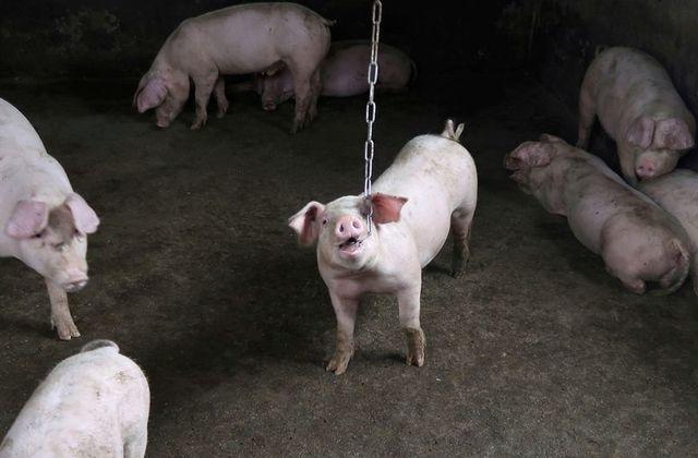 Trung Quốc phát hiện chủng tả lợn châu Phi mới, nghi do vaccine trái phép